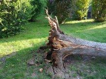 overturned-tree