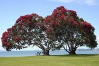pohutukawa-trees-